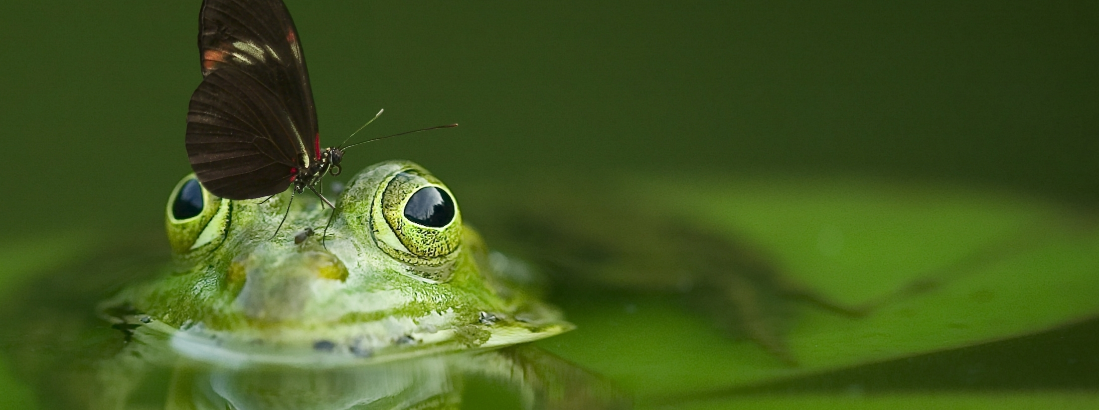 Ambidestrismo Frog
